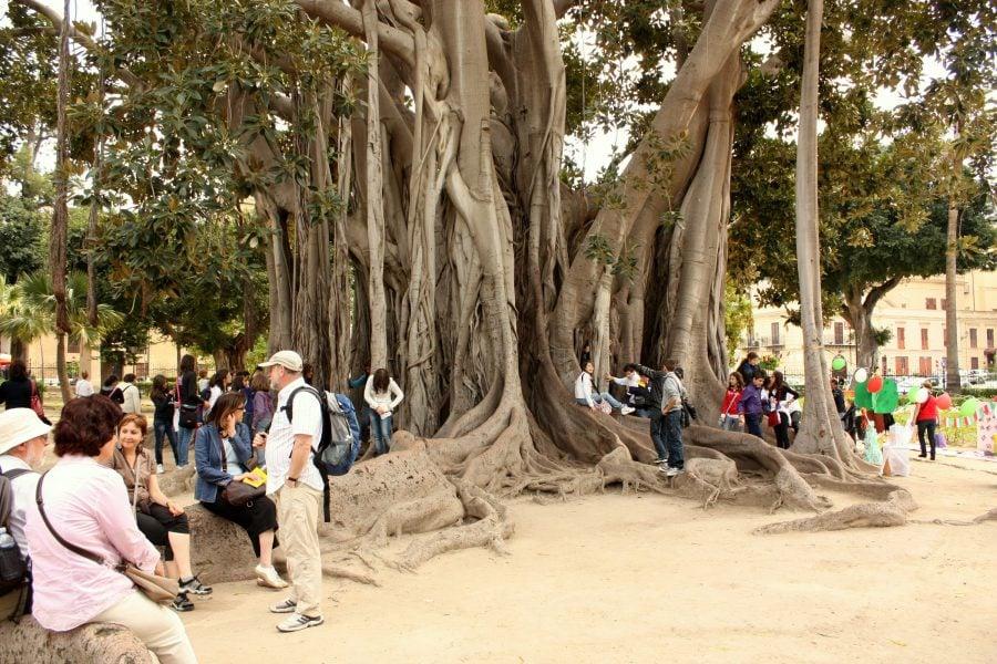 Ficus uriaș în grădina Garibaldi din Palermo