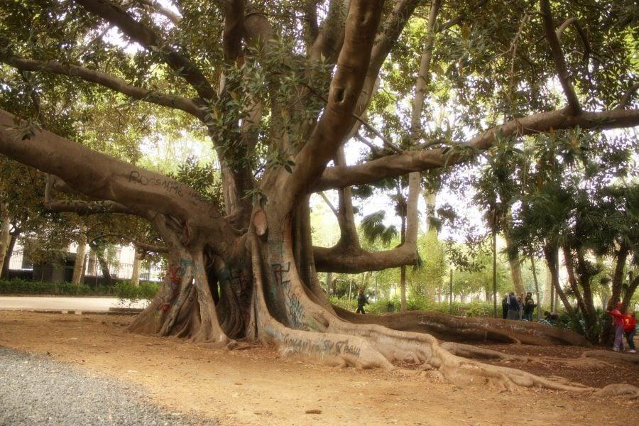 Ficusi gigant într-un parc din Catania