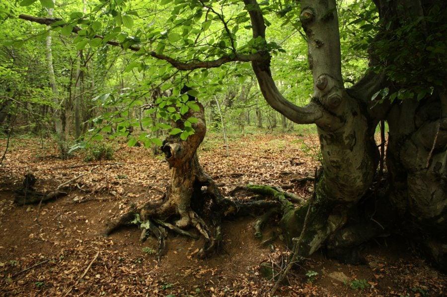 Pădure bătrână în munții Almajului