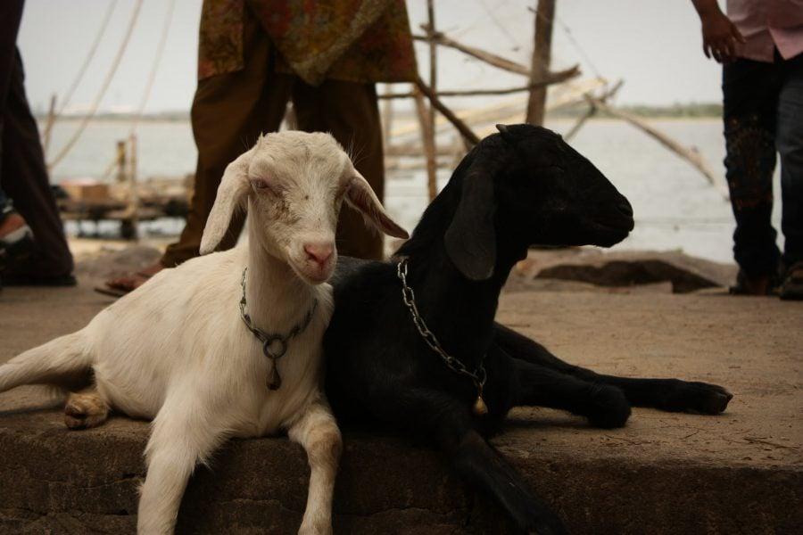 Alba-neagra, capre relaxate în Fort Kochi (Fort Cochin), India