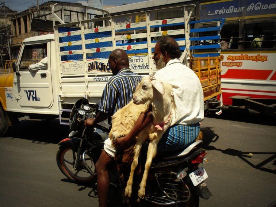 Doi oameni, două capre, o motocicletă, strazile din Madurai, Tamil Nadu, India