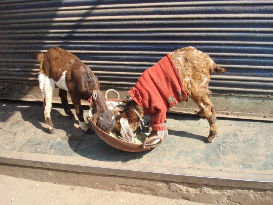 Două capre îmbrăcate în Old Delhi, India