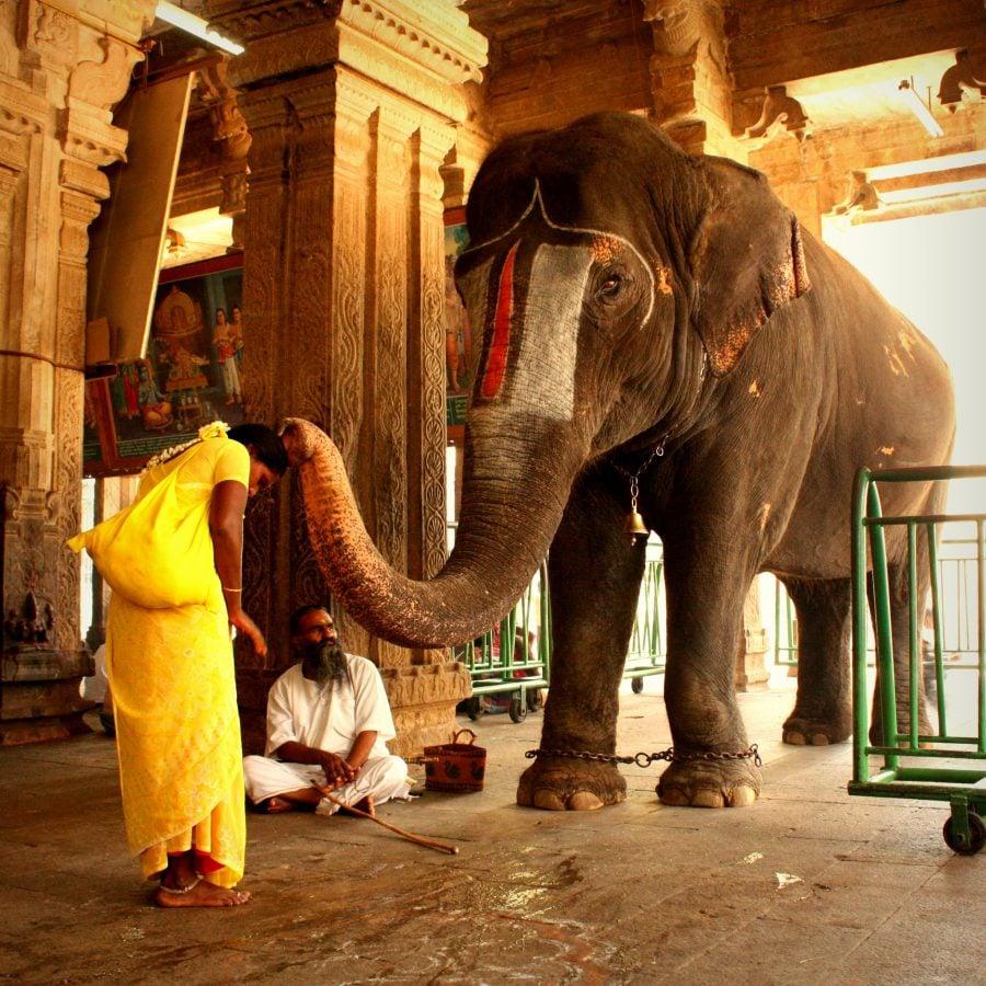 Elefantul templului binecuvântând o indiancă, temmplul Ranganathaswamy, Trichy, Tamil Nadu, India