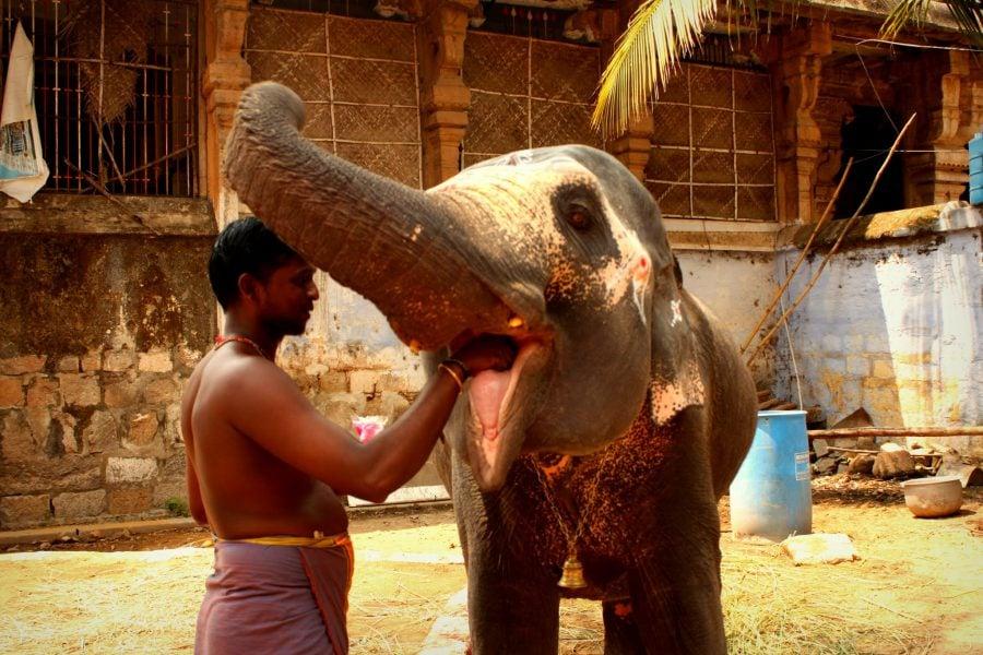 Îngrijitor care hrăneste elefantul cu alune, templul Jambukeswarar, Trichy, Tamil Nadu, India