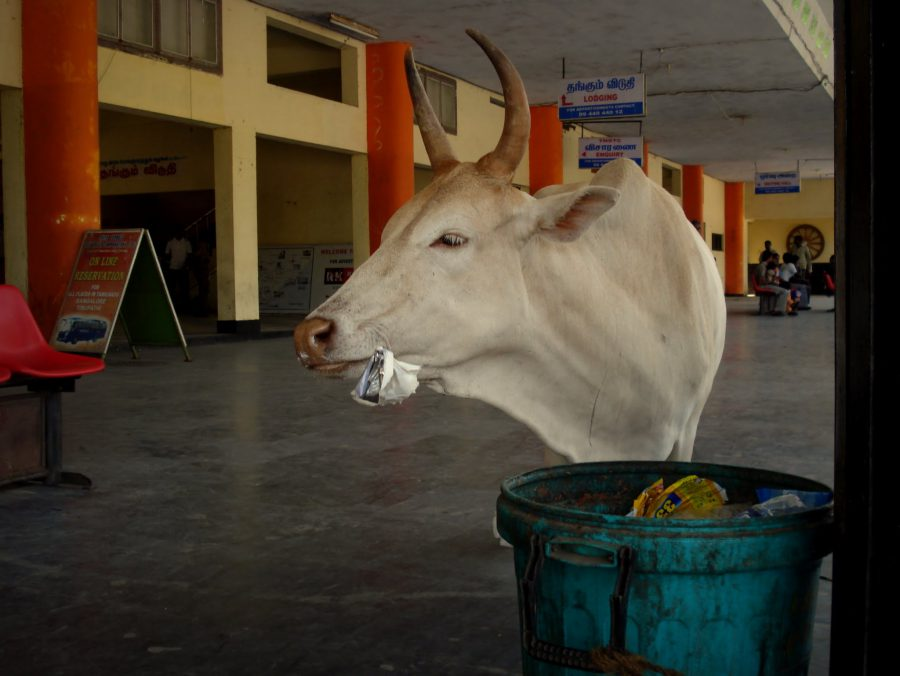 Vacă sacră mâncând din gunoi profan, stația de autobuze din Kanyakumari, Tamil Nadu, India