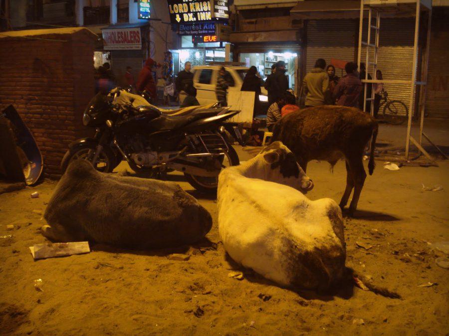 Vaci relaxate pe stradă în Pahargaj, Old Delhi, India