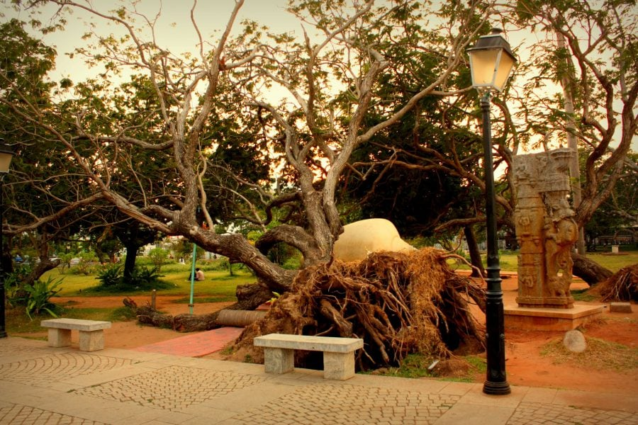 Copac dezradacinat în parcul Bharati din Pondicherry (Puducherry), Tamil Nadu, India