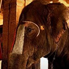 Elefant în templul Sri Ranganathaswamy, Trichy, Tamil Nadu , India