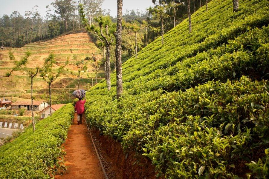 Grădină (plantatie) de ceai lângă Ooty, Tamil Nadu, India