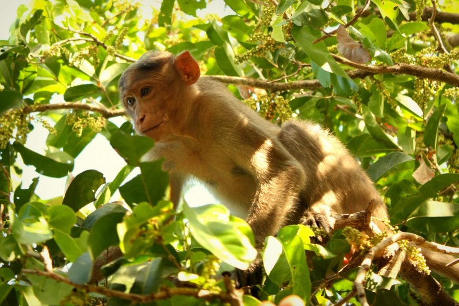 Maimuță tupeistă de templu în Mamallapuram, Tamil Nadu, India