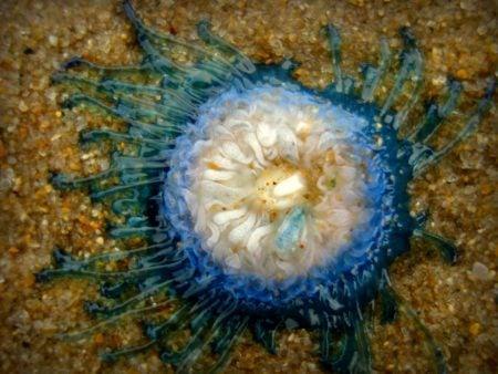 Meduză mică și albastră, plaja din Mamallapuram, Tamil Nadu, India