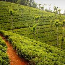 Plantație de ceai, Ooty (Udhagamandalam), Tamil Nadu, India