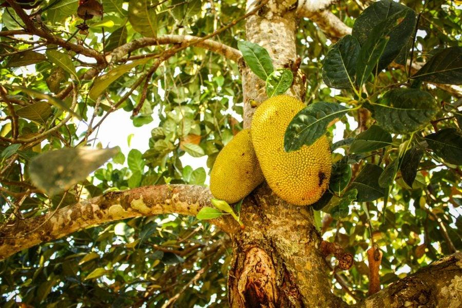 Fructul lui Jack
