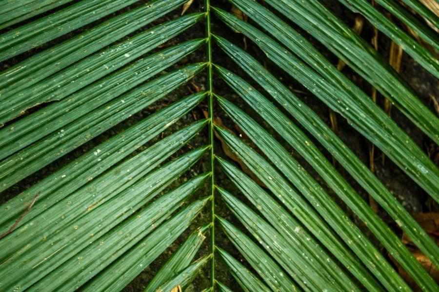 Frunza de palmier in jungla