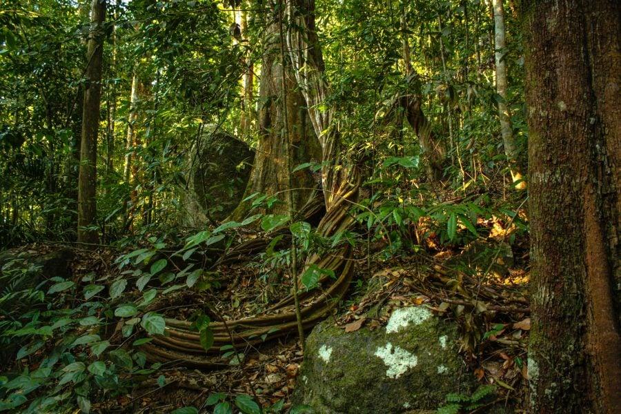 Liane intortocheate în pădurea tropicală din langkawi