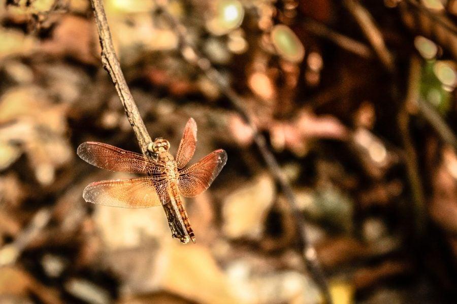 Un fel de libelula in jungla din Langkawi