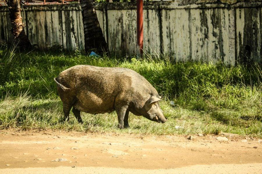 Porc de Sorong, Papua, Indonezia