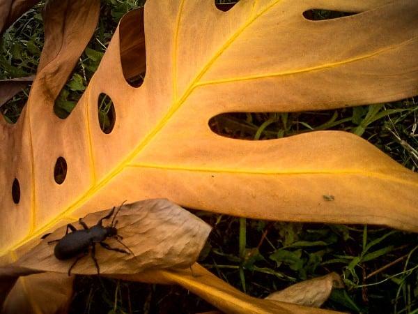 Toamnă și gândac