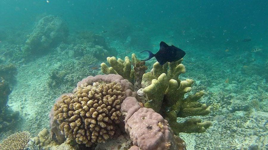 Coral si peste cu coada bifurcata