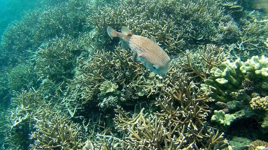 Pufferfish spinos in Raja Ampat