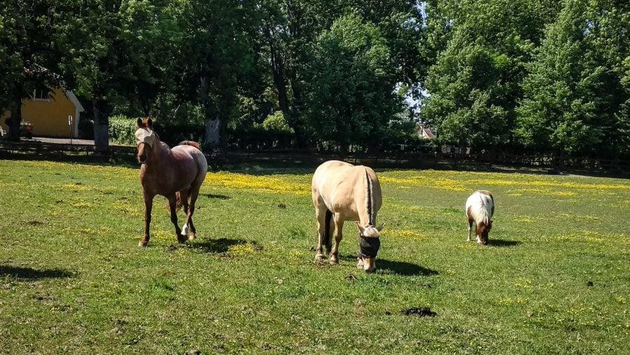 Caluți și ponei