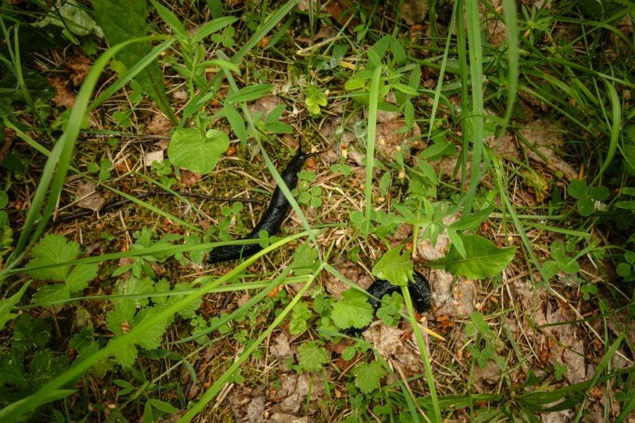 Limax negru de Suedia