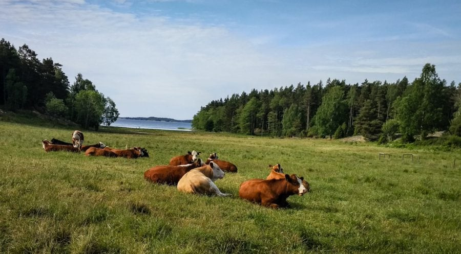 Vaci pe pajiște în Suedia