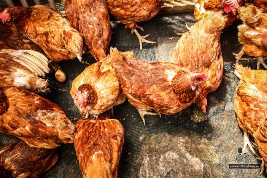 Găini de vânzare
