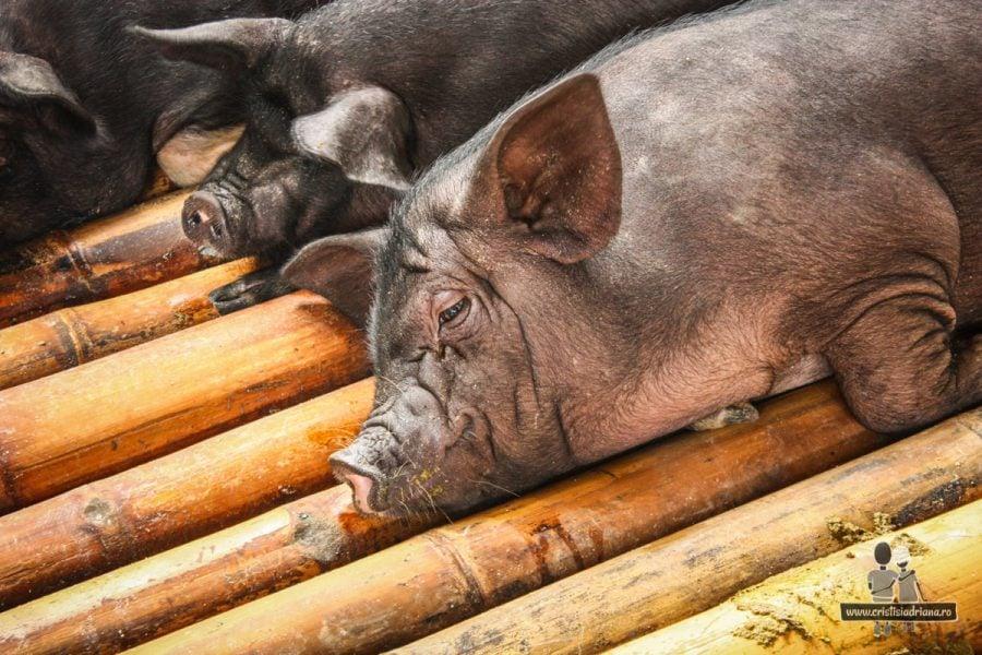 Porc doarme pe bambus