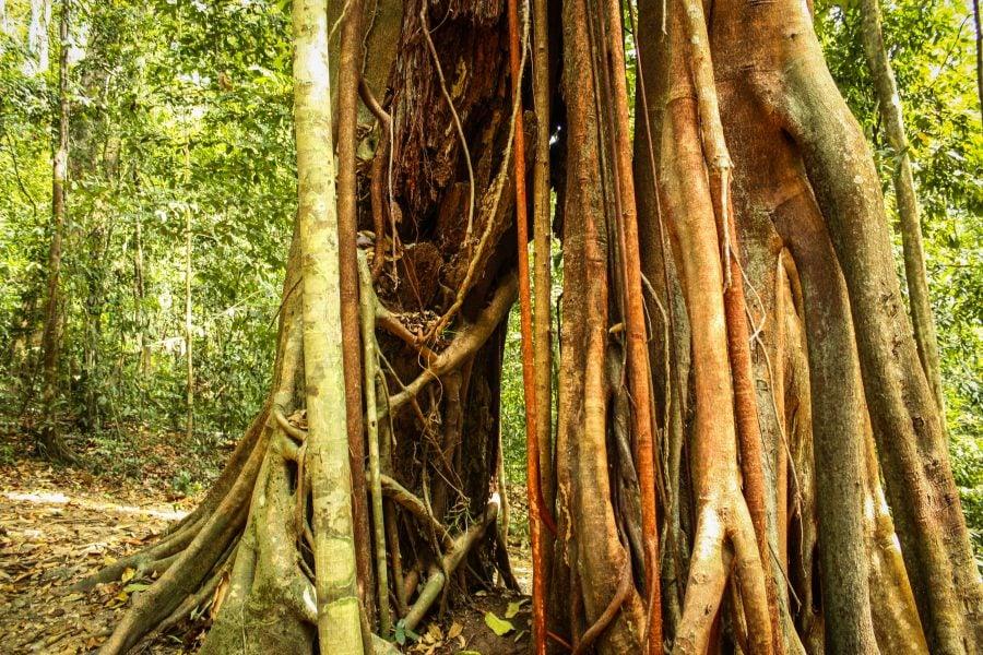 Copac și liane în Langkawi