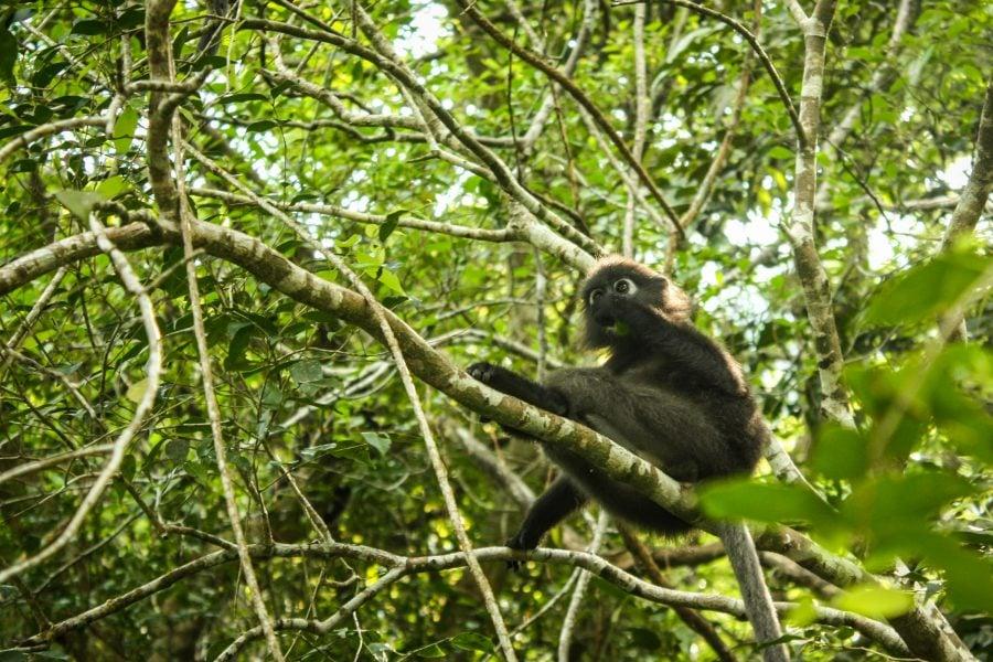 Maimuță cu ochelari