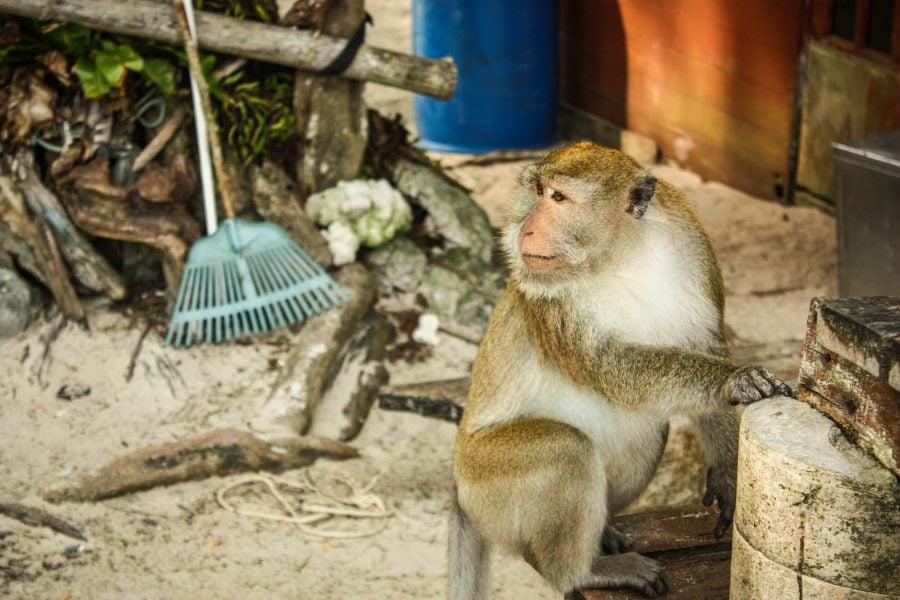 Maimuță hoață