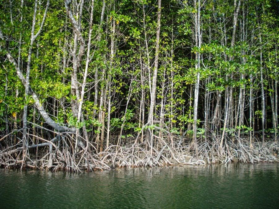 Pădure de mangrove în Langkawi