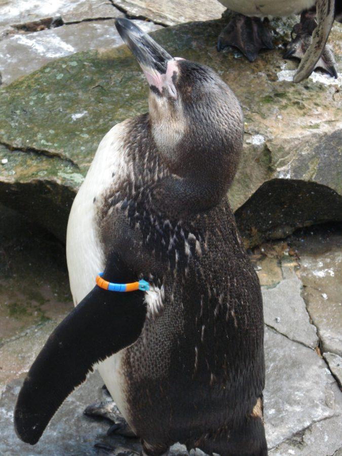 Pinguin în grădina zoologică din Anvers