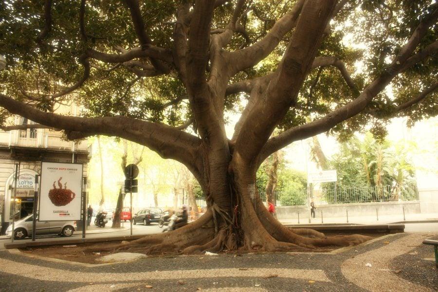 Ficus gigant Catania