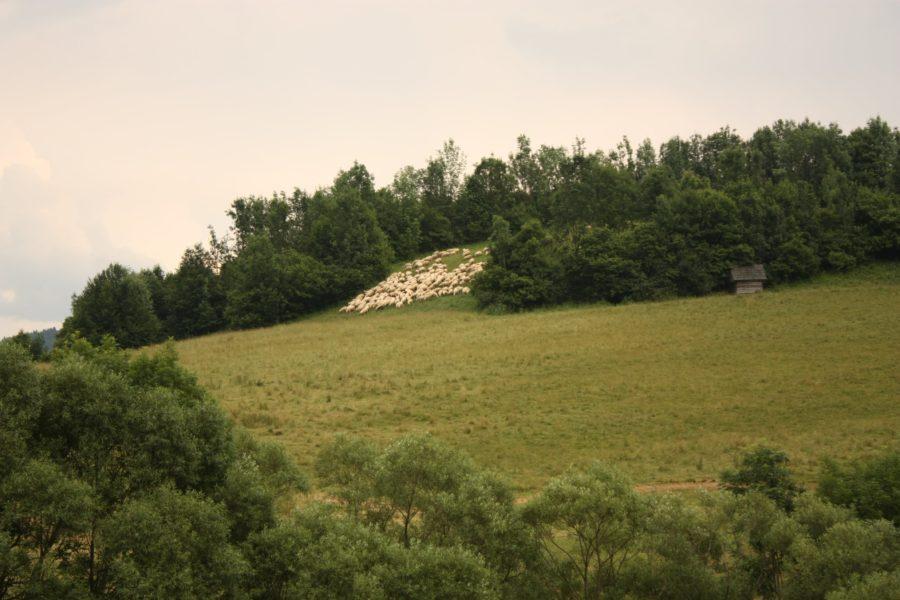 Turmă de oi pe pășune, sat UNESCO, Vlkolinec, Slovacia