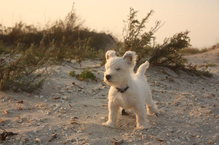 Câine westie în bătaia vântului pe plaja Vadu, Marea, Neagră