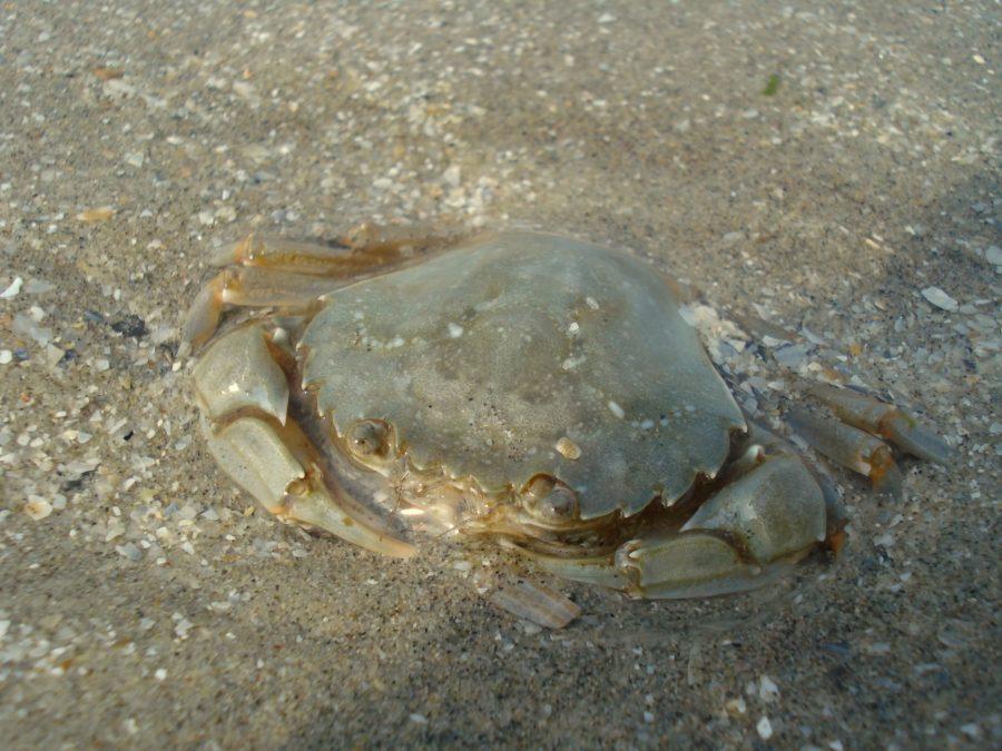 Crab pe plajă, Vadu, Marea Neagră