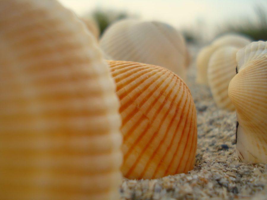 Scoici în nisip, plaja Vadu