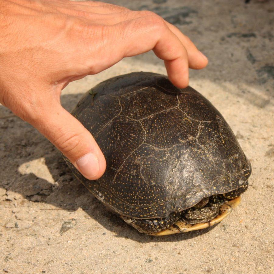 Țestoasă de uscat în Rezervația Delta Dunării