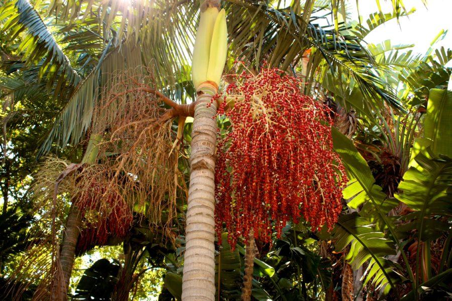 Palmier de curmale într-un parc din Malaga, Spania