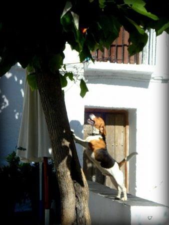 Beagle lătrând la o pisică cocoțată în copac, Bubion, Sierra Nevada