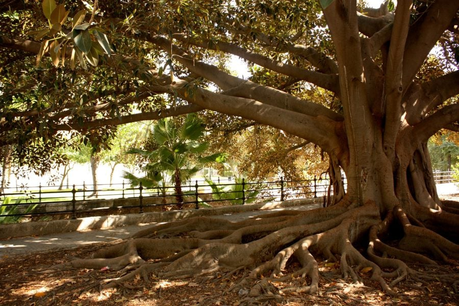 Copac cu rădăcini mari în parcurile din sudul Europei