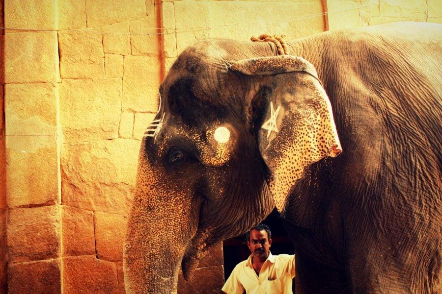 Elefant la templul Brihadeswarar, Thanjavur, India, Tamil Nadu