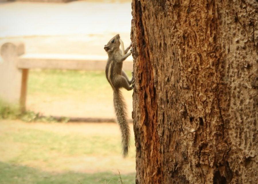 Veveriță bucuroasă cu snack, Thanjavur, Tamil Nadu, India
