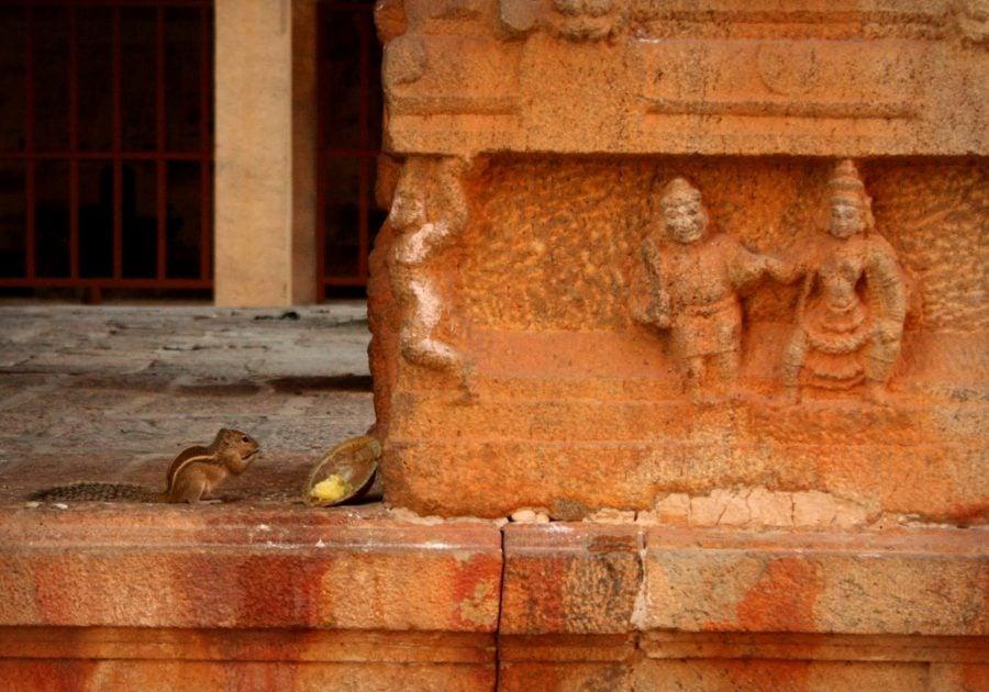 Veveriță mâncând ofranda, templul Brihadeswarar, Thanjavur, Tamil Nadu, India
