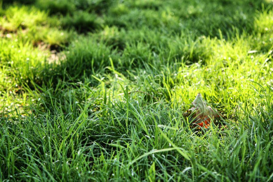 Iarbă verde și pufoasă