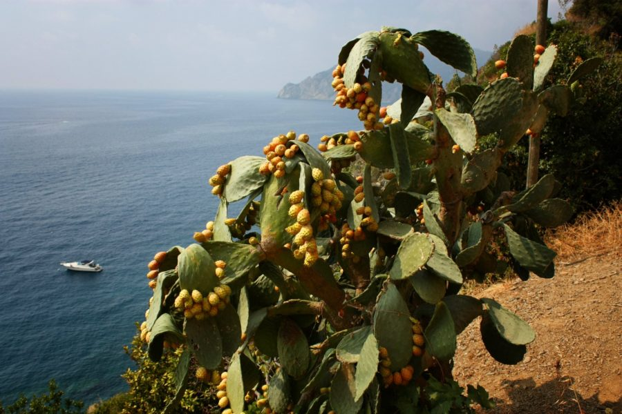 Fruct de cactus comestibil, Coasta Liguriei, Italia