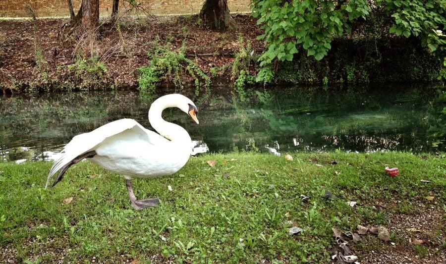 Lebadă pe malul râului în Treviso, Italia