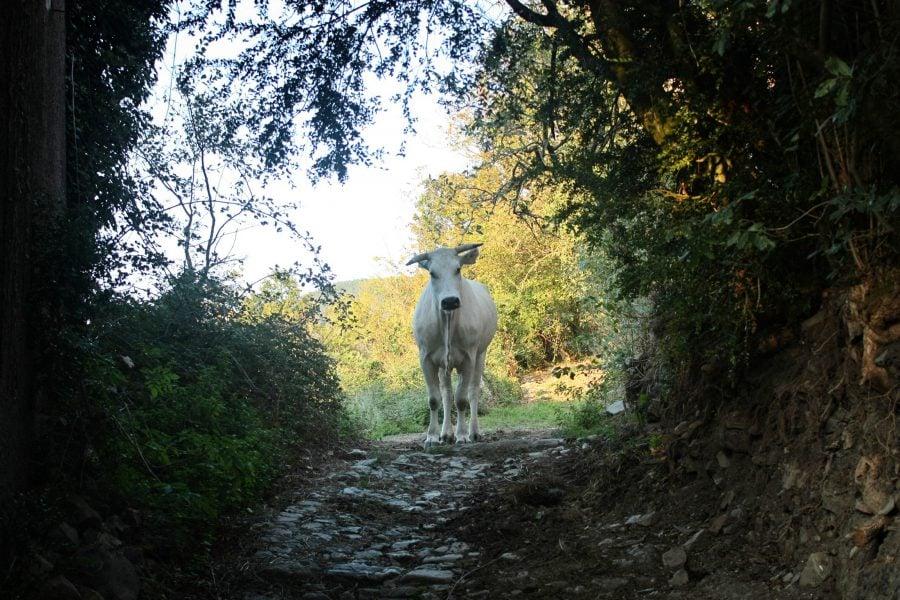 O vacă albă și curioasă
